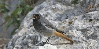 Black Redstart for net