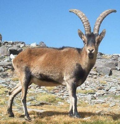 Spain's scientists to try to clone an extinct goat