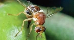 olive flies