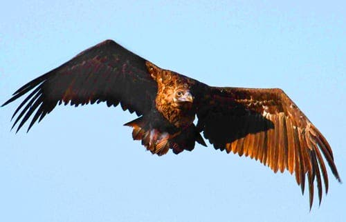 Andalucia's black vulture population reaches new high