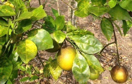 Citrus success turns sour in Spain