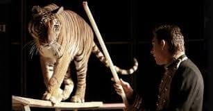 Culture circus tiger