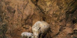 Green Baby rhino
