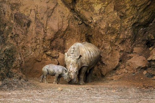Rare rhino born in Spanish nature park