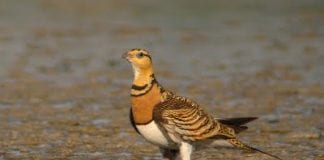 Sandgrouse success
