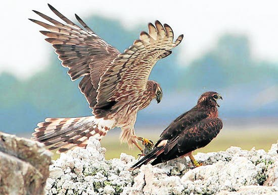 Harassed harriers' nests destroyed