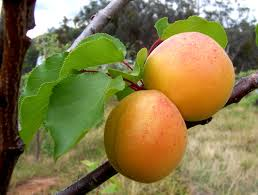Spanish apricots allowed into the US