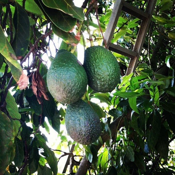 Huge guacamole factory planned for Axarquia