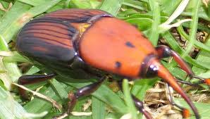 Red palm weevils now a major concern