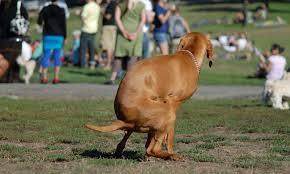 dog pooing