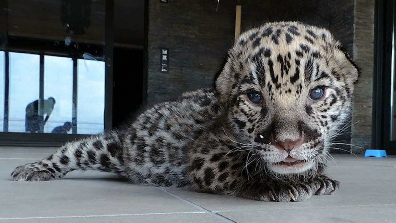 Jaguar cub brought back to life by mouth-to-mouth in Spain