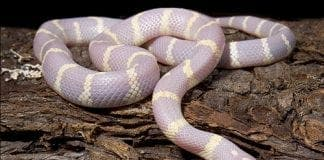 Albino snakes invade Spanish island of Gran Canaria