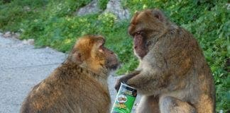 belinda pringles monkey e