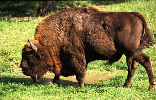 Bison bounce back in Spain for the first time in 10,000 years