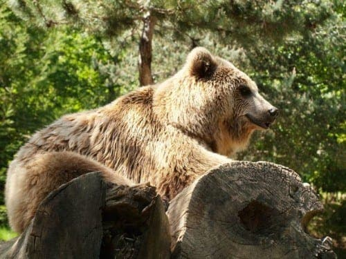 Spain's quick fix solution to sexually aggressive bear
