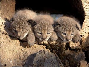 IBERIAN LYNX KITTENS: File photo