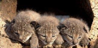 Baby Iberian Lynx e