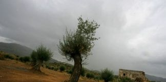 olive tree drought e