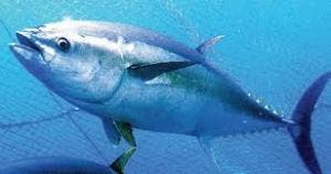 tuna breeding