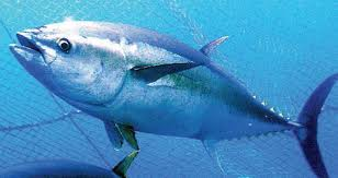 Bluefin tuna farm to open in Murcia