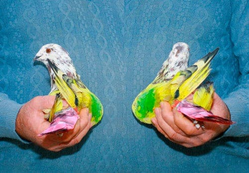 Artist compiles photographs of Valencian painted pigeon-racing tradition