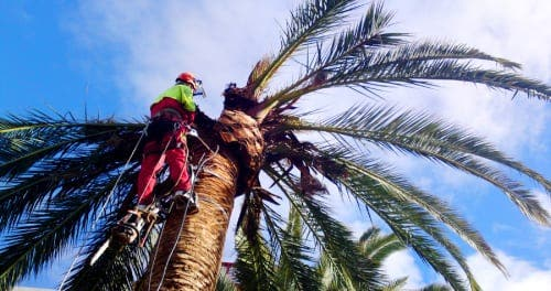 Hundreds of palm trees destroyed in Almunecar due to killer weevils