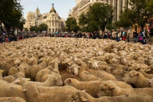 Sheep paraded through Madrid in defence of ancient herding rights