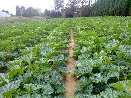 Deadly virus decimates courgette crops