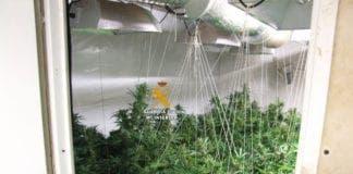Marijuana e