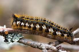 SECOND LEAD Killer caterpillar