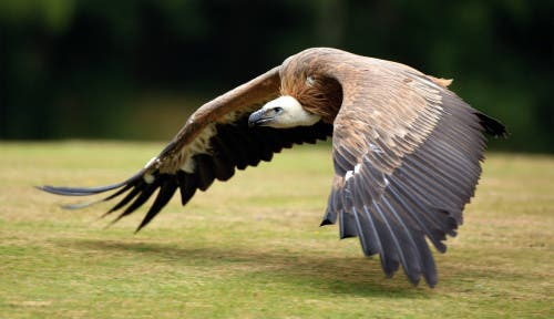 Call for livestock drug deadly to vultures to be outlawed in Spain