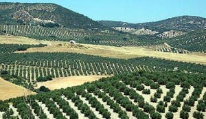 Andalucia produces 73% of Spain's olive oil
