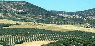 andalusian olive groves e