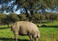 Black Iberian pig e