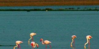 Flamingoe e