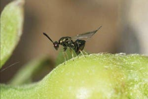 chestut gall wasp