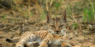 Lynx e