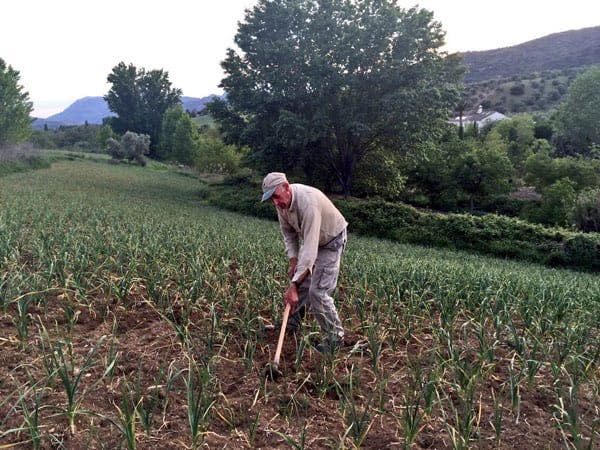Best of rural Spain: Tilling garlic near Ronda - a good year and 2/3 days from market...