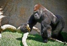 Bioparc Gorilla e