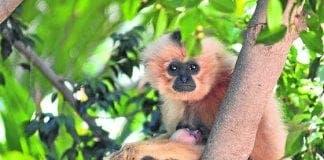 gibbon e