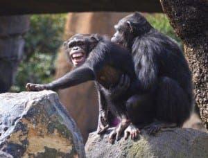 Biopark-chimps