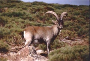 Mountain goats are a very important hunting species in Spain