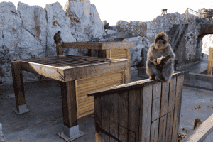 macaques_eating