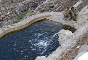macaques_water