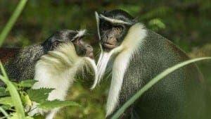 roloway-monkey--644x362