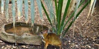 bioparc mousedeer