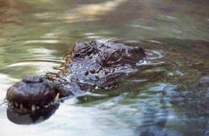 crocodiles3