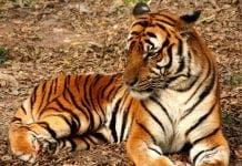Fuengirola Tigers e