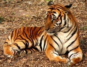 Fuengirola Bioparc's tigers