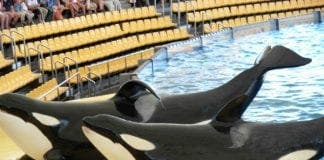 Orcas e
